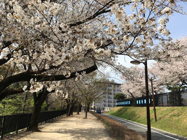 気のせいでなく、終端付近の桜は見頃を保っている
