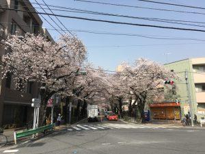 おっ、あからさまな桜並木ですね