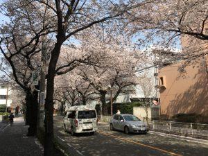 散り始めている桜並木
