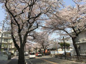 とはいえ桜並木の規模は壮観です