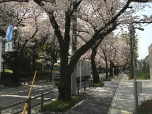 バスティーユ牢獄(仮称)の前の桜も綺麗ですね