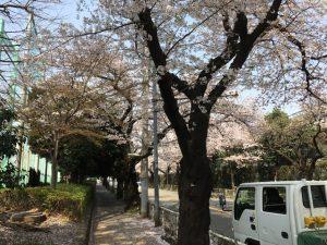 さらに先まで桜並木は続き