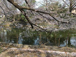 枝垂れた桜