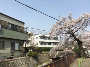石神井川に枝垂れる桜
