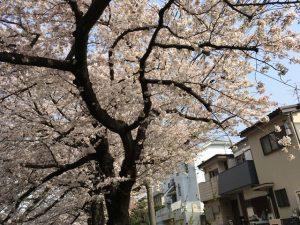 枝垂ばかりが武蔵関の桜ではないと主張