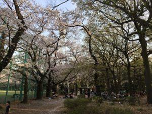 垂直方向に立派に育った桜