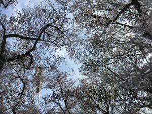 空を占める桜の花