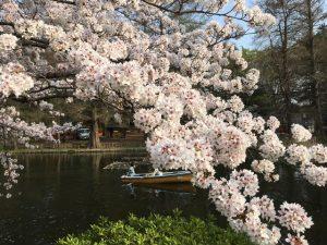 石神井公園ボート池の桜