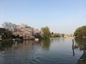 石神井公園の桜は素晴らしい!