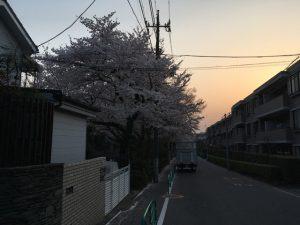 ぼんやりと夕暮れに桜