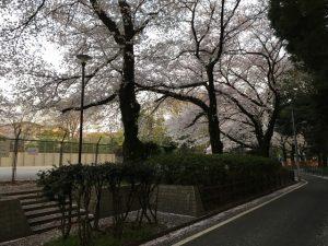外からでも桜の鑑賞が楽しい