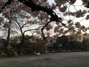 桜の鑑賞時期になんとか間に合った感