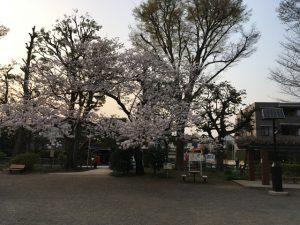 このとおり、まだ健在の桜です