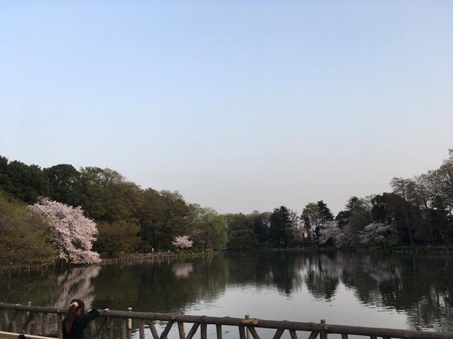 池畔に点在する桜の樹