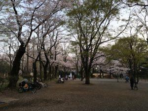 遊具のある公園部分の桜