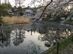 下の池水面に怪しく映る桜