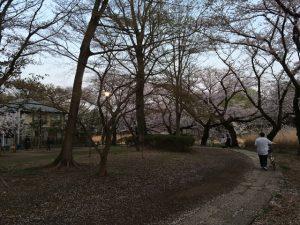 善福寺公園のローマ街道と桜