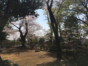 高低差ある公園ならではの丘の上の桜