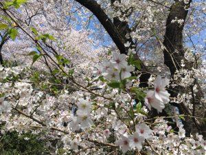 近づけば香りも高き桜の花
