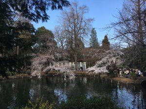 ひょうたん橋前の桜