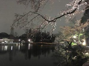 咲き始めの頃の井の頭公園夜桜