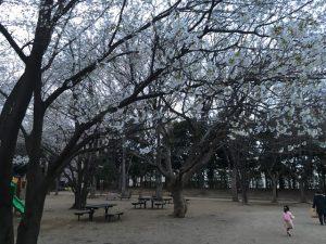 井草森公園中程の桜
