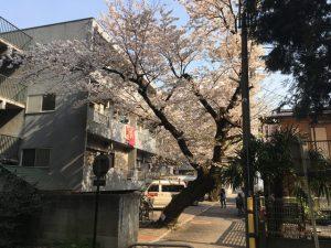 隣接するアパート横にある桜の樹