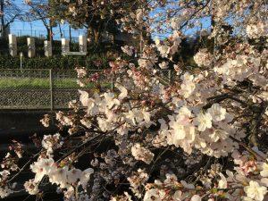 東京女子学院向かい辺りから桜が愉しめます