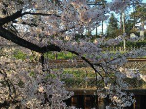 散らず揺れる桜の完璧さときたら