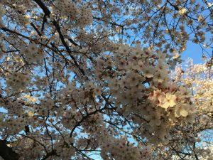 西日に映える桜