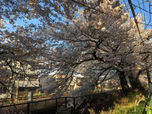 線路と川を襲わんとする立派な桜です