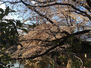 池の周囲の桜