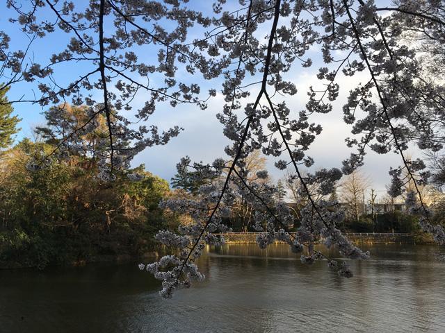 ボートの無い池と桜を画に入れて遊ぶことも出来ますね