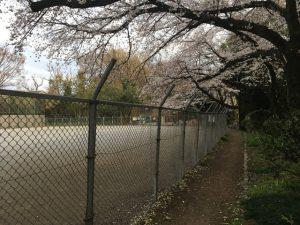 子供広場の周囲を囲む桜