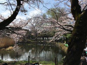 ただただ美しい桜です