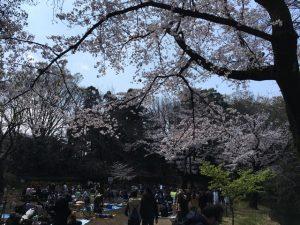 大きな桜に囲まれた場所です