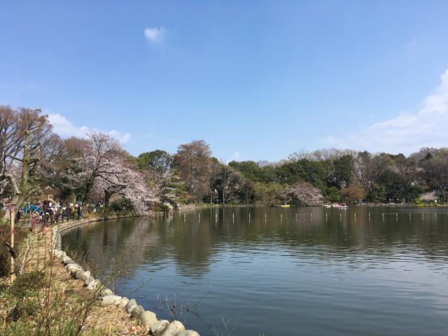 池の周りにポツポツと観桜スポットがあります