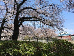 子供広場の桜も、天気が良ければなお映えますね