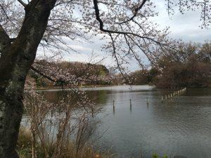 桜を手前に対岸を捉える