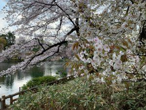 桜は人々の心をよそに変わらず美しく咲きますね