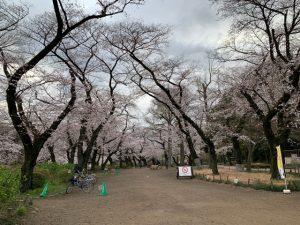 まるで花見の穴場公園のような井の頭公園