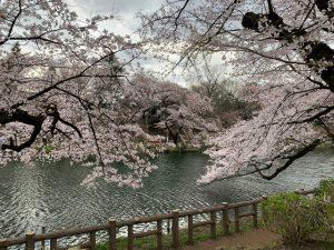 池に垂れる桜