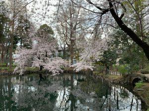 ひょうたん橋前の早咲きの桜