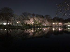 夜の南岸側の桜