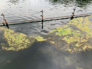 七井橋から池の中を覗き込みます