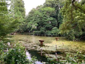 池の東端。この辺りの水草はスワンとは未接触でしょうね。