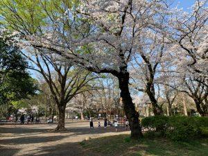 下の池側 遊具エリアの桜