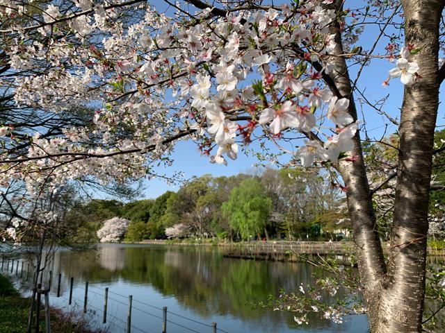 近い桜、遠い桜