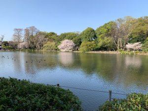 波紋と桜の組み合わせが美しい