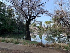 散り始めの桜、美しい